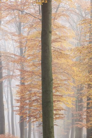 Beuk in herfsttooi gaat schuil achter een kale stam in een beukenlaan op Landgoed Warnsborn bij Arnhem op de Veluwe.
