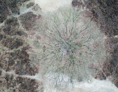 Drone foto van een eik tussen de heide op de Posbank op de Veluwe.