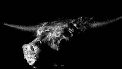 Low-key foto van ontvelde kop van geslachte Schotse Hooglander.