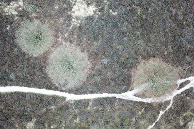 Drone foto van eiken tussen de heide op de Posbank op de Veluwe.