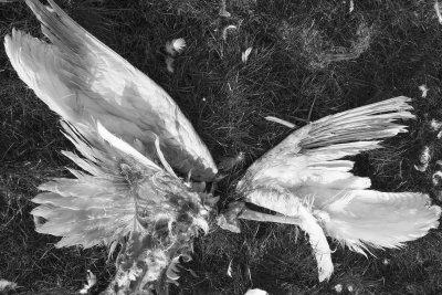 Fallen angel, overblijfselen , vooral vleugels van een zwaan