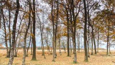 Berkenbos in de herfst in het Holtingerveld bij Havelte in Drenthe.