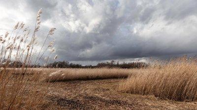 Donkere wolken en fel zonlicht kleuren het riet van de Wieden in de Kop van Overijssel..