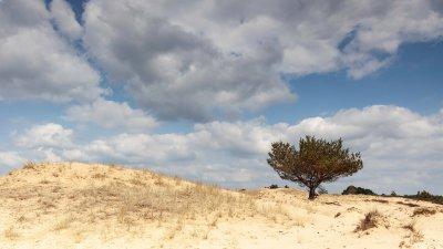 Dennenboompje op het Aekingerzand in het Drents-friese wold.