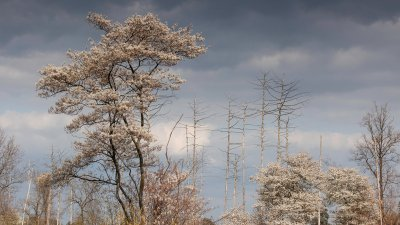 Bloeiende krentenboom op het Aekingerzand in het Drents-Friese wold.