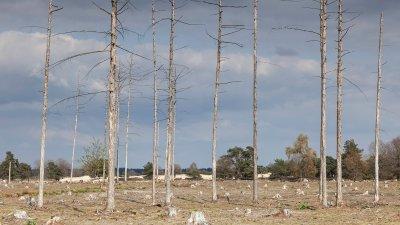 Dode bomen op het Aekingerzand bij Appelscha.