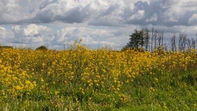 Koolzaad, zuring en blauwgrijze wolken in de Wieden in de lente.