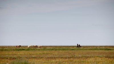 Paarden op de kwelders langs de Groningse waddenkust.
