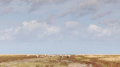 Schapen op de kwelders langs de Groningse waddenkust.