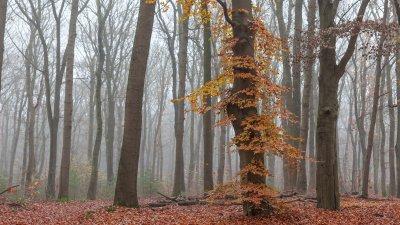 Beuk met herfstblad in een overigens bijna kaal eikenbos op landgoed Warnsborn op de Veluwe bij Arnhem.