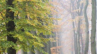 Laat in de herfst heeft deze beuk op Landgoed Warnsborn bij Arnhem nog steeds groen blad.