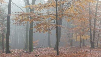Herfst in het beukenbos op landgoed Warnsborn op de Veluwe bij Arnhem.