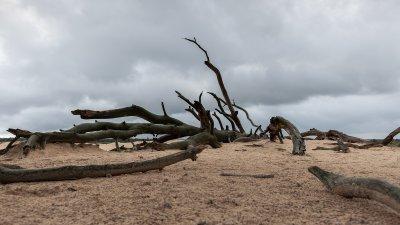 Skelet van dode boom op zandverstuiving de Pollen op de Hoge Veluwe.