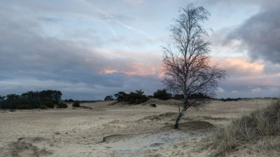 Eenzame berk bij zonsondergang op het Aekingerzand bij Appelscha.