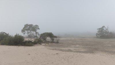 Dennen in de mist op zandverstuiving de Pollen op de Hoge Veluwe.