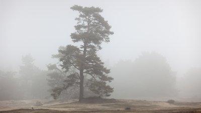 Dennenboom in de mist op zandverstuiving de Pollen op de Hoge Veluwe.