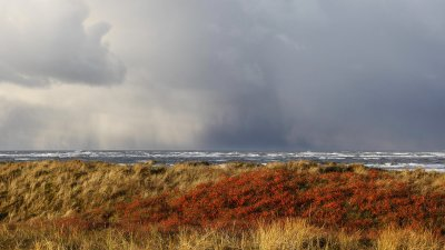 Een vuurdoorn steekt scherp af in een opklaring voor een naderende bij in de duinen van Schiermonnikoog.