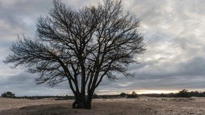Silhouet van boom tegen de avondhemel op het Aekingerzand in het Drents-Friese wold bij Appelscha
