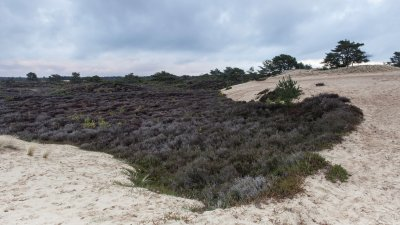 Heide en zandverstuiving op het Aekingerzand in het Drents Friese Wold bij Appelscha.