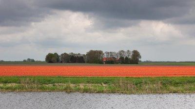 Tulpen bollenveld in de Noord Oost polder bij Kraggenburg
